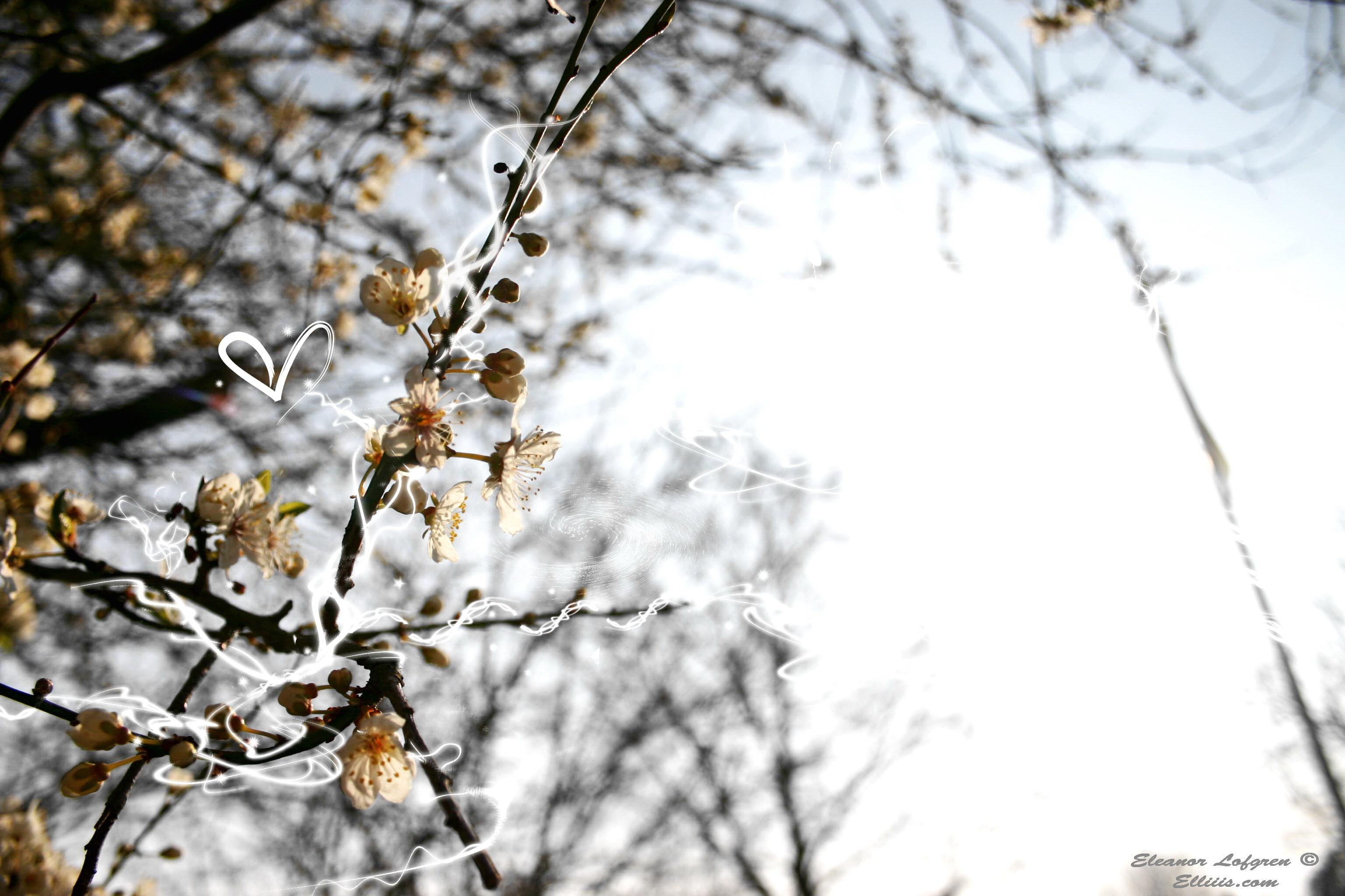 Sakura spirits